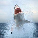 オットセイを襲うサメをスローモーションで撮影した動画が美しい