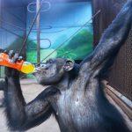 中国でも40℃近い猛暑日を記録!動物園のサルも氷に群がる!海外の反応「動物に優しい中国」