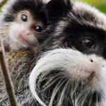 パース動物園では、ほぼ30年ぶりに双子のタマリンの誕生でお祝いしています!