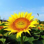 東京に笑顔のヒマワリが登場!海外の反応「放射能の影響かと思ったよ」