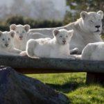 イギリスで生まれたホワイトライオンの子供が日本のサーカスに送られていたことにイギリス人激怒!!!