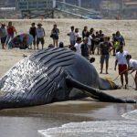 ロサンゼルスビーチに死んだクジラが流されてきました。