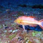 ハワイで3種の新しい魚種を発見!