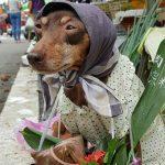 台湾で衣装を着た犬がフルーツを販売しており、ネット上で話題になっています。