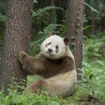 【画像】世界で5頭しか確認できていない衝撃のパンダをご覧ください