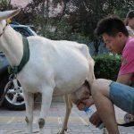 中国の通りで山羊4頭を引き連れたカップル…驚きの行動に出る!!!海外の反応「中国人はやることが豪快だよな」