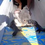 オーストラリアの川でカヌーを漕いでいるとコアラが乗ってくる