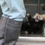 日本のレッサーパンダの赤ちゃんの動画が海外で凄まじい人気に!