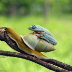 カタツムリをタクシー代わりにしているカエルがいると話題に!海外の反応「ほのぼの」