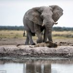 ライオンVSアフリカゾウ……サバンナの日常に世界が感動!!!海外の反応「アフリカゾウは大きいな」
