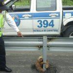 怯えきったナマケモノがエクアドルの高速道路で発見!!