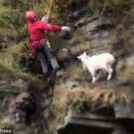 崖の上に山羊が! 緊迫の救出劇・・・その結果は!?
