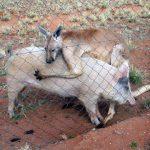 恋に落ちたのは豚だった。カンガルーと豚の愛?