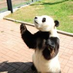 笹しか食べないと思っていた! 月餅を食べるパンダがかわいい