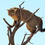 サバンナの野良猫は一味違う!カラカルに襲われて30mジャンプ!