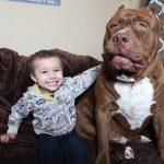 「体重80kgのピットブルテリアの大親友は3歳の男の子」に対する海外の反応