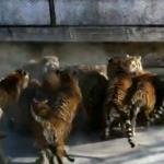 【閲覧注意】シベリアンタイガーの群れに生きた子羊を放り込む中国人