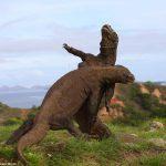 コモドドラゴンの決闘は相撲スタイルだと世界で話題に!!!海外の反応「歯で噛みついたりしないのが面白い」